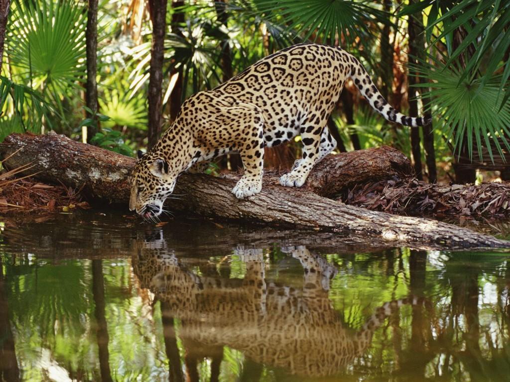 Jaguar africain de Guyane