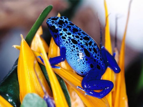 Grenouille bleue de Guyane