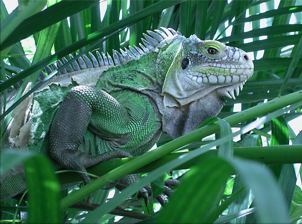 Iguane vert de Guyane