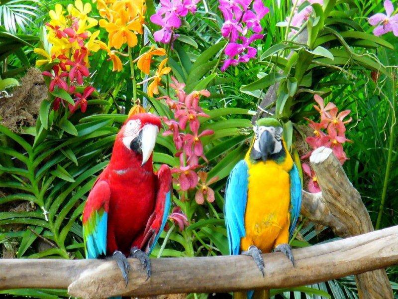 Perroquets de Guyane