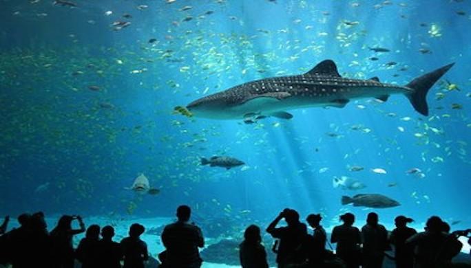 90-400-320450px-Male_whale_shark_at_Georgia_Aquarium