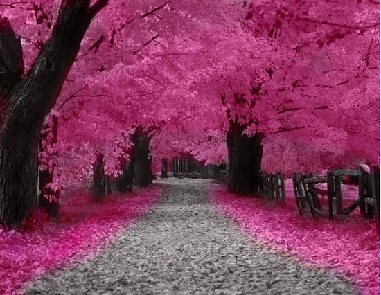 Index Of Wp Content Gallery Les Cerisiers En Fleurs Japon