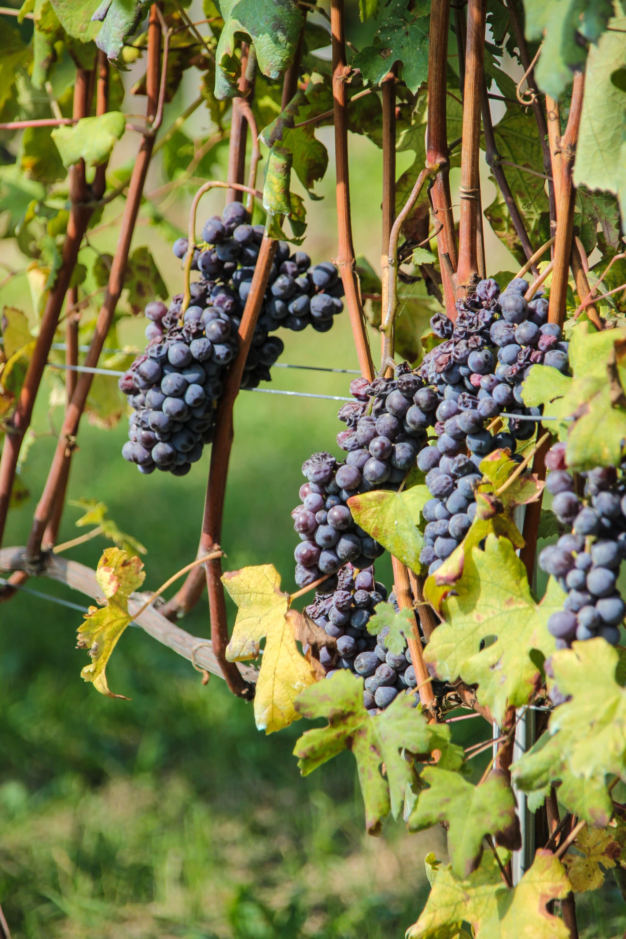 Grapes_Langhe