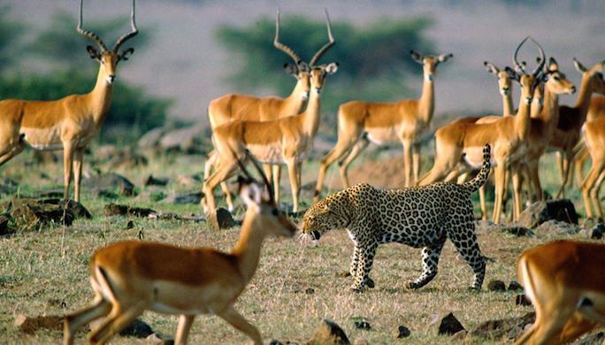 safari-en-afrique-antilopes-guepard