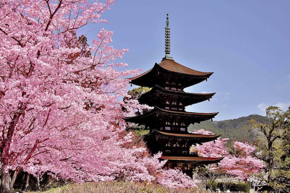 Japon : Les cerisiers en fleurs de Setouchi